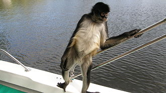 Spider monkey - Spider monkey standing at the edge of a boat