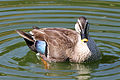 Spot-billed Duck RWD8.jpg