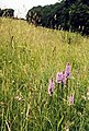 Spotted Orchids - geograph.org.uk - 633240.jpg
