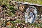 Squirrel - RSPB Minsmere (31459790872).jpg