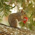 Squirrel at Gemini - Flickr - Andrea Westmoreland.jpg
