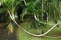 Sri Lanka, Palms in Peradeniya Botanical Gardens.jpg