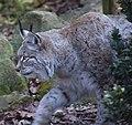 Stalking Lynx (5516764719).jpg