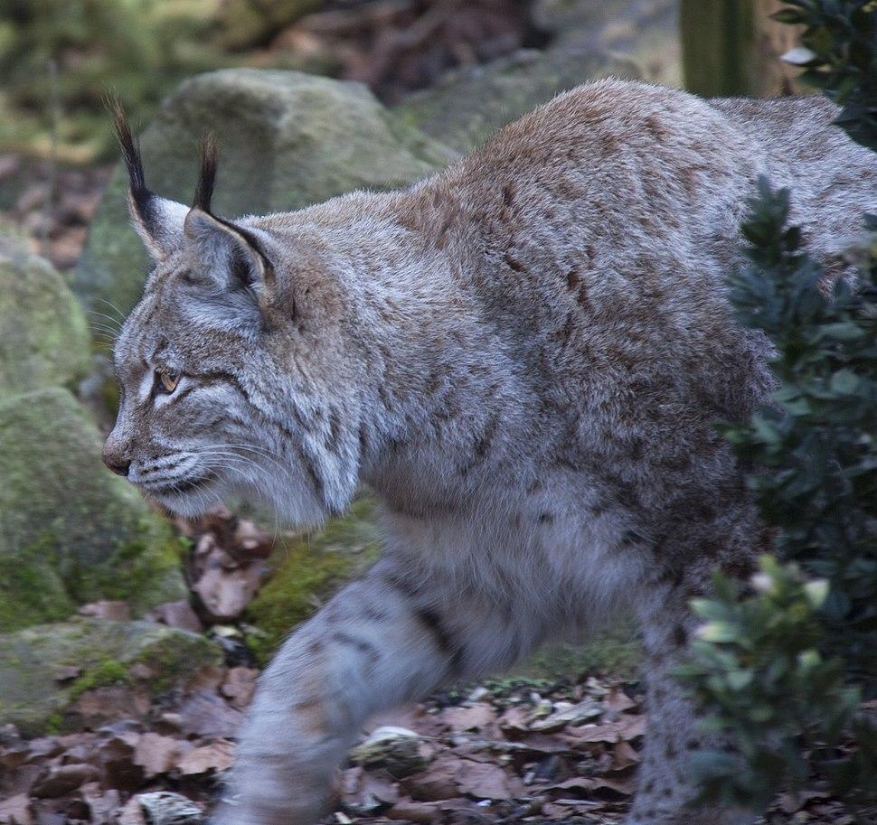 Stalking Lynx (5516764719)