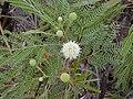 Starr-010206-0257-Leucaena leucocephala-flowers-Kanaha Beach-Maui (23902941414).jpg
