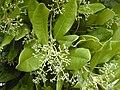 Starr-010419-0014-Pimenta dioica-flower buds-Kula-Maui (24449843071).jpg