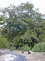 Starr-010520-0002-Ficus macrophylla-habit-Sand Island-Midway Atoll (24532672425).jpg