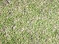 Starr-031108-2093-Cynodon dactylon-habit-Deering Park-Florida (24307312219).jpg