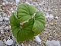 Starr-040323-0208-Cordia subcordata-seedling-Kanaha Beach-Maui (24606312501).jpg