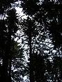 Starr-041221-1817-Cupressus macrocarpa-Haleakala ridge trail-Polipoli-Maui (24628380221).jpg