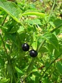 Starr-050418-0262-Solanum americanum-habit-Kapapa-Oahu (24719439846).jpg