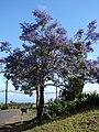 Starr-070525-7166-Jacaranda mimosifolia-flowering habit-Kula-Maui (24771483402).jpg