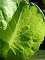 Starr-081031-0395-Lactuca sativa-lettuce leaf-Makawao-Maui (24299825443).jpg