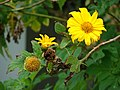 Starr-090417-6134-Tithonia diversifolia-flowers-Haliimaile-Maui (24584557109).jpg