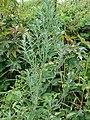 Starr-090426-6369-Chenopodium album-habit-Lower Kula Rd Kula-Maui (24834673622).jpg