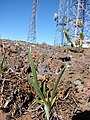 Starr-090504-7150-Plantago lanceolata-habit-Science City-Maui (24586393809).jpg
