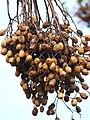 Starr-090601-8706-Melia azedarach-fruit-Ulupalakua-Maui (24330361344).jpg