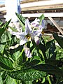 Starr-091023-8516-Solanum muricatum-flowers and leaves-Kula Experiment Station-Maui (24691271730).jpg
