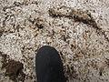 Starr-100616-7096-plant-Acacia mearnsii-habitat and Pheidole megacephala nest under concrete block-Waipoli Rd Kula (9235192582).jpg
