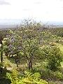 Starr-100616-7126-Jacaranda mimosifolia-flowering habit-Waipoli Rd Kula-Maui (24922539742).jpg