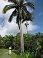 Starr-110330-3797-Roystonea regia-habit with Kim-Garden of Eden Keanae-Maui (24713080439).jpg