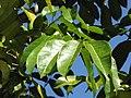 Starr-110330-4037-Canarium ovatum-leaves-Garden of Eden Keanae-Maui (24713471179).jpg