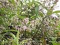 Starr-110331-4536-Buddleja salviifolia-flowers and leaves-Shibuya Farm Kula-Maui (24988556671).jpg