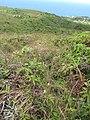 Starr-110924-9495-Andropogon virginicus-habit-Makamakaole-Maui (24747238779).jpg