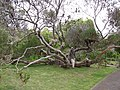 Starr-120312-3805-Banksia ericifolia-habit with Kim-Kula Botanical Garden-Maui (24507104754).jpg
