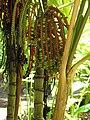 Starr-120522-6448-Pinanga kuhlii-fruit-Iao Tropical Gardens of Maui-Maui (24848072880).jpg