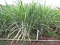 Starr-120620-7460-Cenchrus purpureus-green bana grass habit-Kula Agriculture Station-Maui (25119380316).jpg