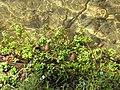 Starr-130319-2936-Bacopa monnieri-habit in stream-Rock Quarry Beach Mokolea Pt Kilauea Pt NWR-Kauai (25182094786).jpg