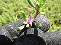 Starr-130703-5565-Sesuvium verrucosum-flowers and leaves-Kealia Pond-Maui (25193079416).jpg