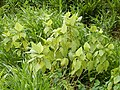 Starr-140222-0363-Touchardia latifolia-habit-Hana Hwy-Maui (24613390093).jpg