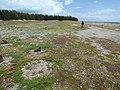 Starr-150331-0893-Coronopus didymus-Kim and Laysan Albatrosses-Runway Overrun Sand Island-Midway Atoll (24975778790).jpg
