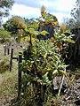 Starr 010419-0039 Bocconia frutescens.jpg