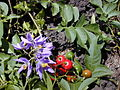 Starr 020323-0063 Solanum seaforthianum.jpg