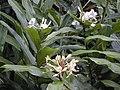 Starr 020803-0059 Hedychium flavescens.jpg