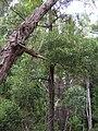 Starr 041221-1796 Acacia melanoxylon.jpg