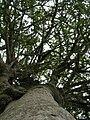 Starr 051029-5099 Streblus pendulinus.jpg