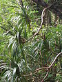 Starr 051113-5230 Freycinetia arborea.jpg