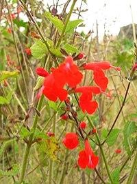 Starr 051122-5376 Salvia coccinea