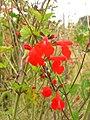 Starr 051122-5376 Salvia coccinea.jpg