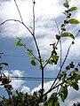 Starr 070321-5946 Triumfetta semitriloba.jpg