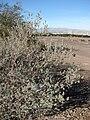 Starr 071224-0456 Leucophyllum frutescens.jpg