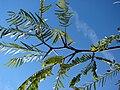 Starr 071224-0480 Prosopis glandulosa.jpg