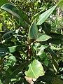 Starr 080103-1424 Magnolia grandiflora.jpg