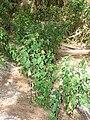 Starr 080604-6224 Euphorbia cyathophora.jpg