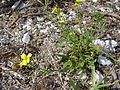Starr 080605-6484 Brassica nigra.jpg