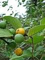 Starr 080610-8298 Solanum torvum.jpg